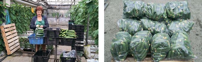 Огірки на експорт