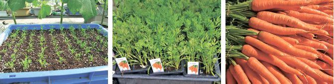 Морква з розсади