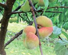 Захист персика