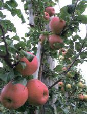 Чудові плоди