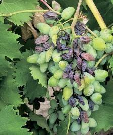 Гнилі на винограді