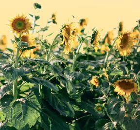 Чотири варіанти чудового врожаю соняшнику