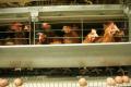 Які зміни відбуваються в курячих яйцях зі збільшенням віку несучок