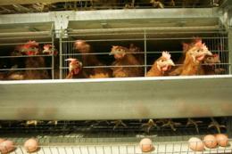 Скорочення виробництва яєць у промисловому секторі набирає обертів