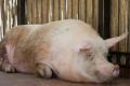 Перед лікуванням кіст яєчників у свиноматок спочатку знижують стресове навантаження