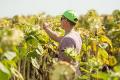 Насичення сівозміни соняшником сприяє накопиченню збудників фомопсису
