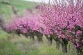 Волинський «Сад весни» збільшить насадження персика вдвічі
