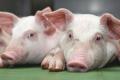 Поголів'я свиней за І квартал зросло на 3,7%