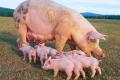 У І кварталі Україна експортувала 105 тонн живих свиней