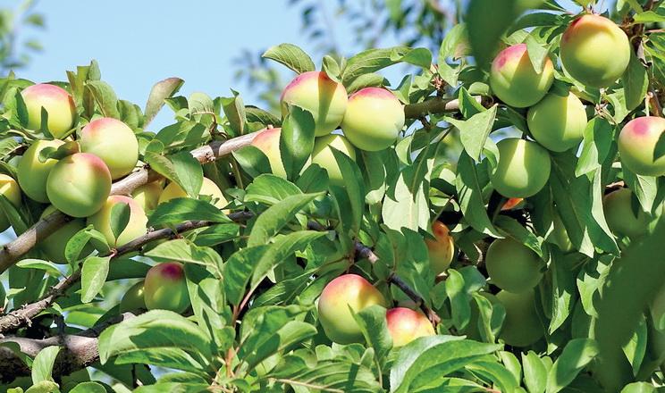 Урожайність аличі на четвертий-п'ятий рік сягає до 40 тонн/га