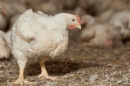 Брак натрію може спричиняти випадки канібалізму серед птиці