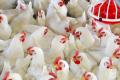 У лютому промислове поголів'я птиці скоротилося на 0,7%