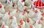 Поголів'я птиці за дев'ять місяців зросло на 4,6%