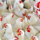 Фітонциди і фітоалексини можуть бути альтернативою антибіотикам у тваринництві