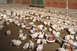 Поголів'я птиці в Україні за 11 місяців зросло на 4,3%