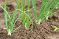 Розвиток шкідників цибулі залежить від погодних умов і агротехніки її вирощування