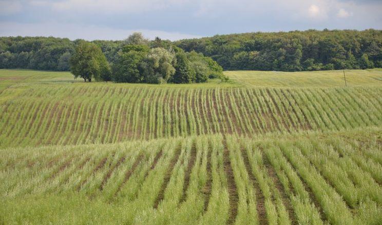 За правильної підготовки ґрунту і боротьби з бур'янами приживається 85-90% саджанців енергетичної верби