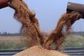 Валовий збір зерна перевищив 36 млн тонн
