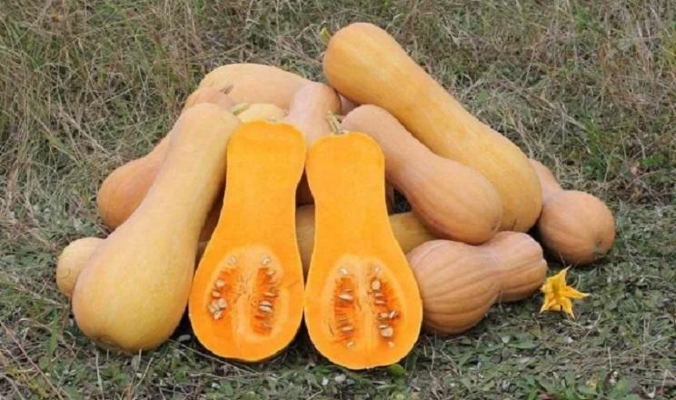 Харківське підприємство вирощуватиме солодкий гарбуз