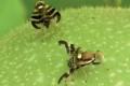 Горіхова муха може перечікувати в ґрунті у стадії лялечок два роки