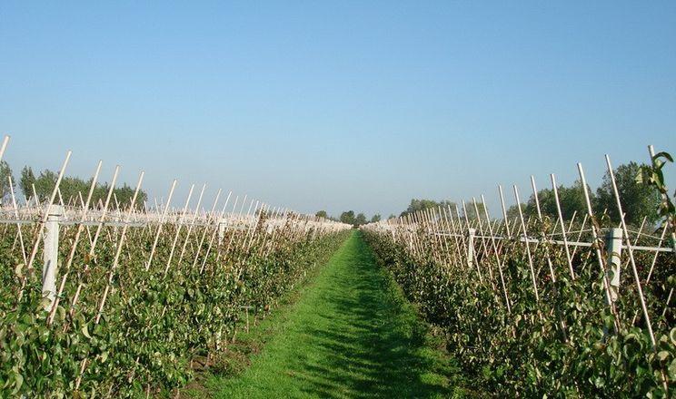 В Україні зростають площі грушевих садів
