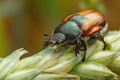 Названо чинники, які можуть обмежувати розмноження хлібних жуків