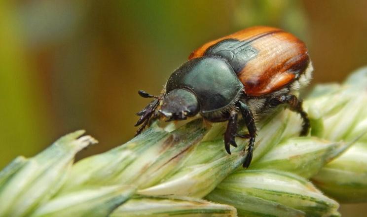 Суттєвої шкоди колосовим культурам може заподіяти жук-кузька