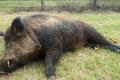 На Житомирщині зафіксовано спалах АЧС серед диких свиней