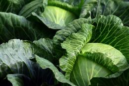 Капусту названо ризикованим овочем