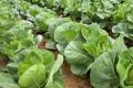 Дрібні фермери мають проблеми з збутом ранньої плодоовочевої продукції