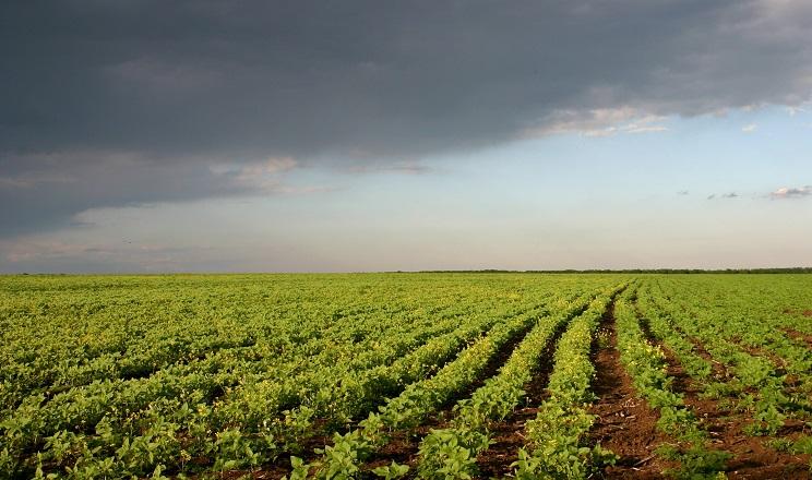 Внесення мікроелементів у ґрунт підвищує стійкість картоплі до фомозу