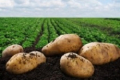 Наступного року може бути перевиробництво картоплі в Європі