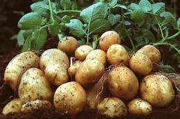 Гриб Chaetomium cochliodes підвищує продуктивність картоплі