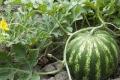 Для прямої сівби кавунів слід добре підготувати ґрунт