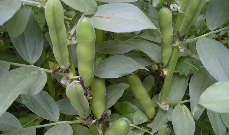 Кінські боби добре вирощувати в суміші з ярим вівсом