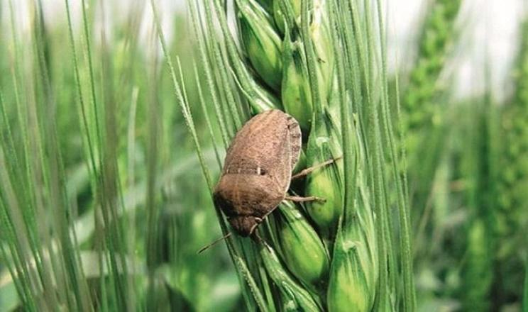 Для захисту зернових від клопа шкідливої черепашки слід застосовувати хімічний метод