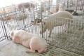 Чим загрожує отруєння свиней зеараленоном