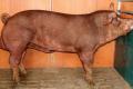 На Львівщині запустили племінний репродуктор з розведення свиней данської генетики