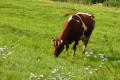 Для захисту корів від теплового стресу може використовуватися буфер для рубця