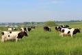 Кульгавість у корів часто ускладнюється маститом