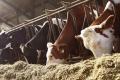 Кетоз у корів найяскравіше проявляється в перші 6-10 тижнів після отелення