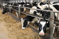 Dairy Global Experts відправив до Узбекистану ще 30 нетелей