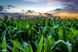 «Бучачагрохлібпром» наступного року збільшить площі під посівами кукурудзи