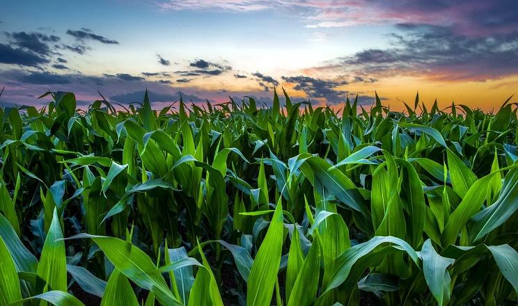На Хмельниччині ввели карантин через небезпечного шкідника кукурудзи