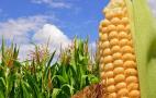 Експорт кукурудзи в новому сезоні майже на 40% вищий, ніж торік