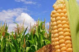 Зросла загроза хвороб качанів кукурудзи