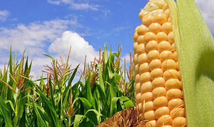 Органічне удобрення кукурудзи дозволяє збільшити її врожайність