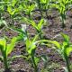 До нового сезону BASF представив фунгіцид для зернових і вдосконалений гербіцид для кукурудзи