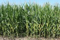 Для обмеження чисельності кукурудзяного метелика жнива кукурудзи слід проводити у стислі терміни