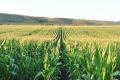 Азотне підживлення кукурудзи допомагає зменшити шкідливість шведських мух